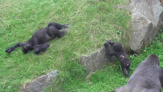Gorilla Lope's Best Approach Yet In Getting To His Baby Brother