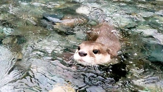 Captain Aty in tears of joy at the first river in a long time! [Otter life Day 559]