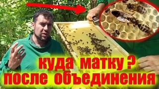 Что делать с пчелиными матками. Объединение пчелиных семей на пасеке. Слабый отводок на старую матку