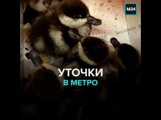 Уточки в метро — Москва 24