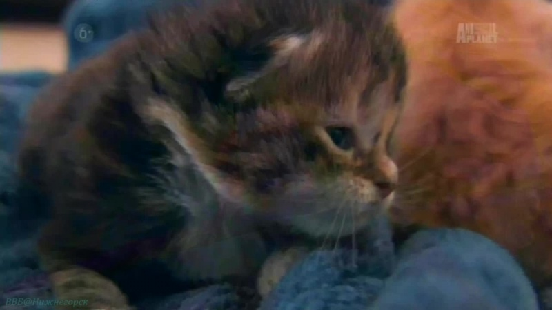 «Симпатичные котята: Мейн-кун, Чёрные кошки, Сиамская» (Познавательный, 2013)
