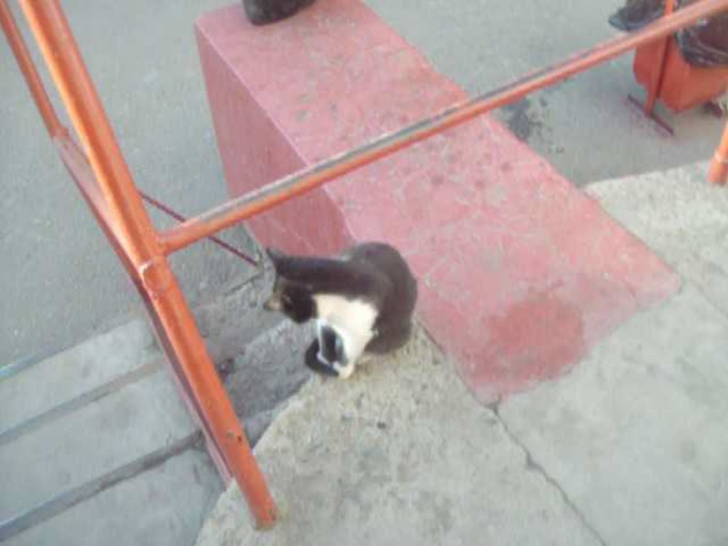 чёрно - белый котёнок