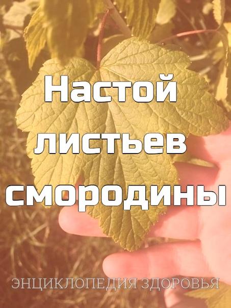 Настой листьев смородины при грамотном дозировании выводит избыток