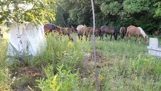 Табун лошадей «напал» на село Частое под Тулой