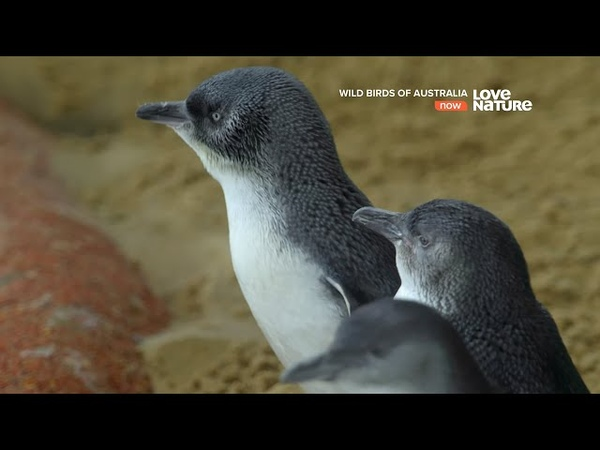 Дикие птицы Австралии Малый пингвин Документальный фильм в Ultra HD 4K