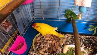 Что нового у КИВИ и Лимона / Гнездо для попугая / КАКАРИКИ попугайчики ПРЫГАЮЩИЕ новозеландские